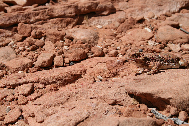 Weekly Photo - Galapagos Camouflage: Lava Lizard on Lava | Red ...